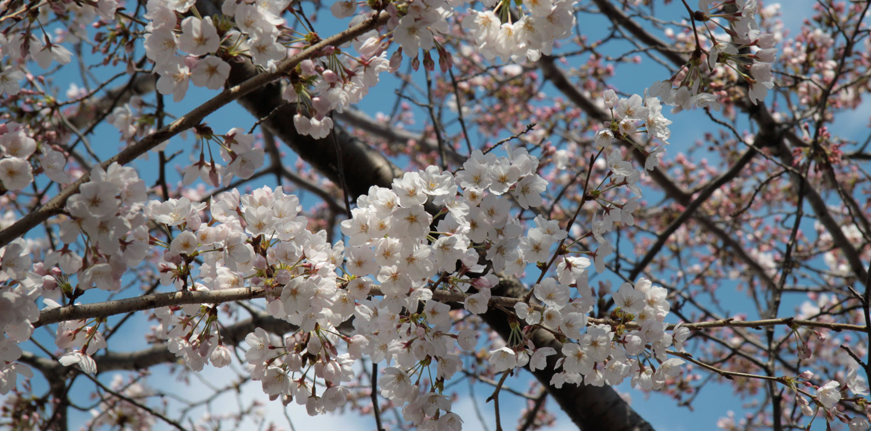Sakura Les Cerisiers En Fleurs Du Japon
