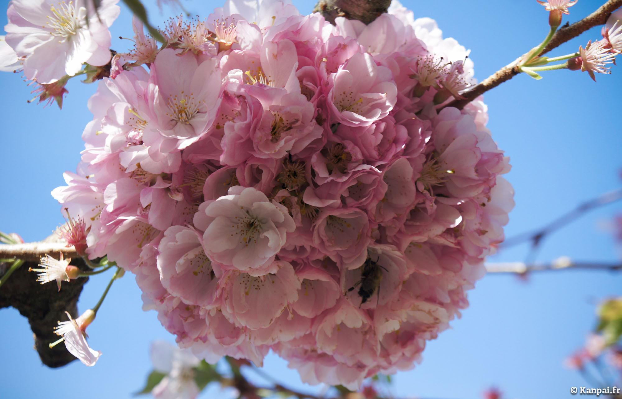 Sakura : les cerisiers en fleurs du Japon - 🌸 (o)Hanami ...