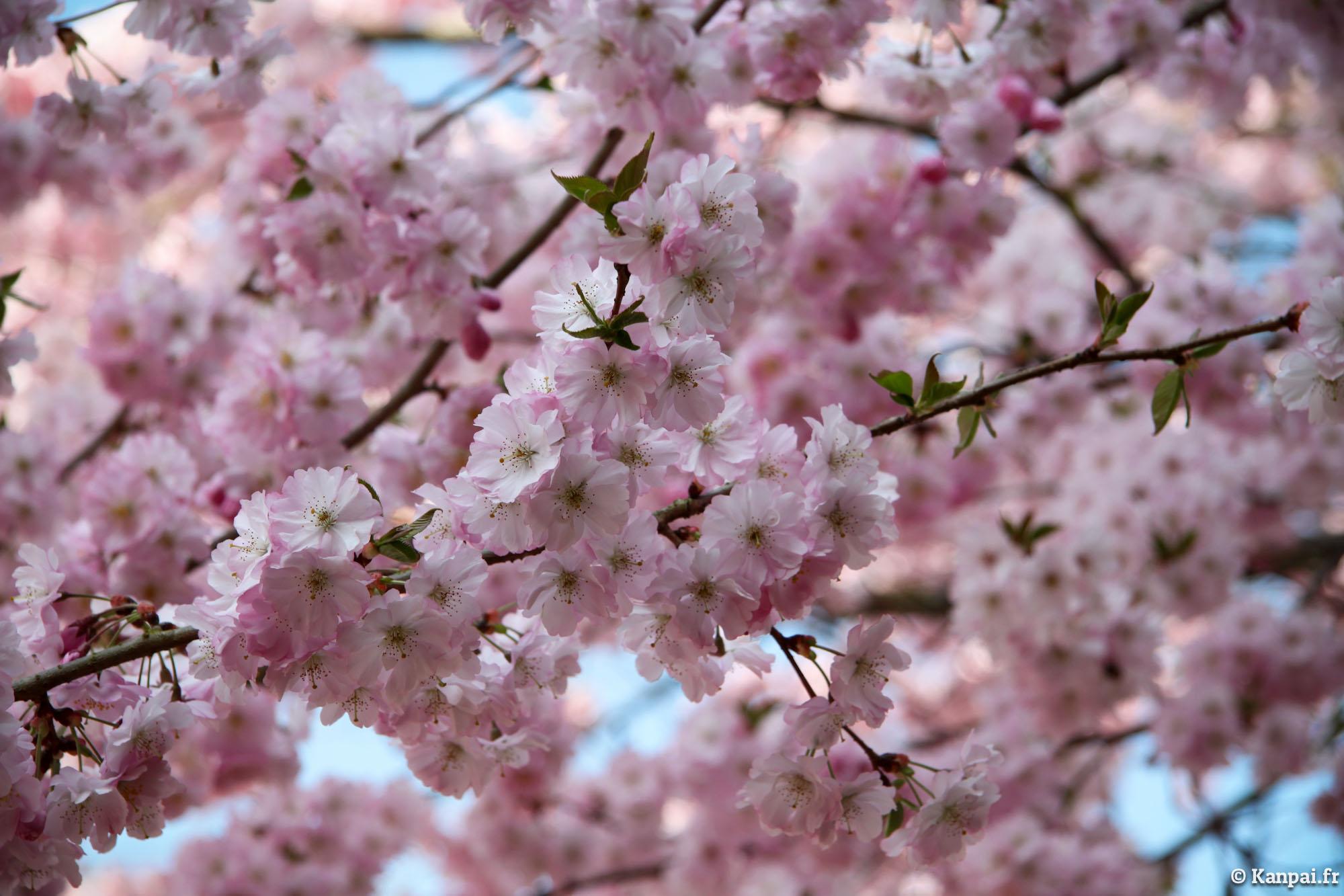 Sakura les cerisiers en fleurs du japon - Arbre japonais rose ...