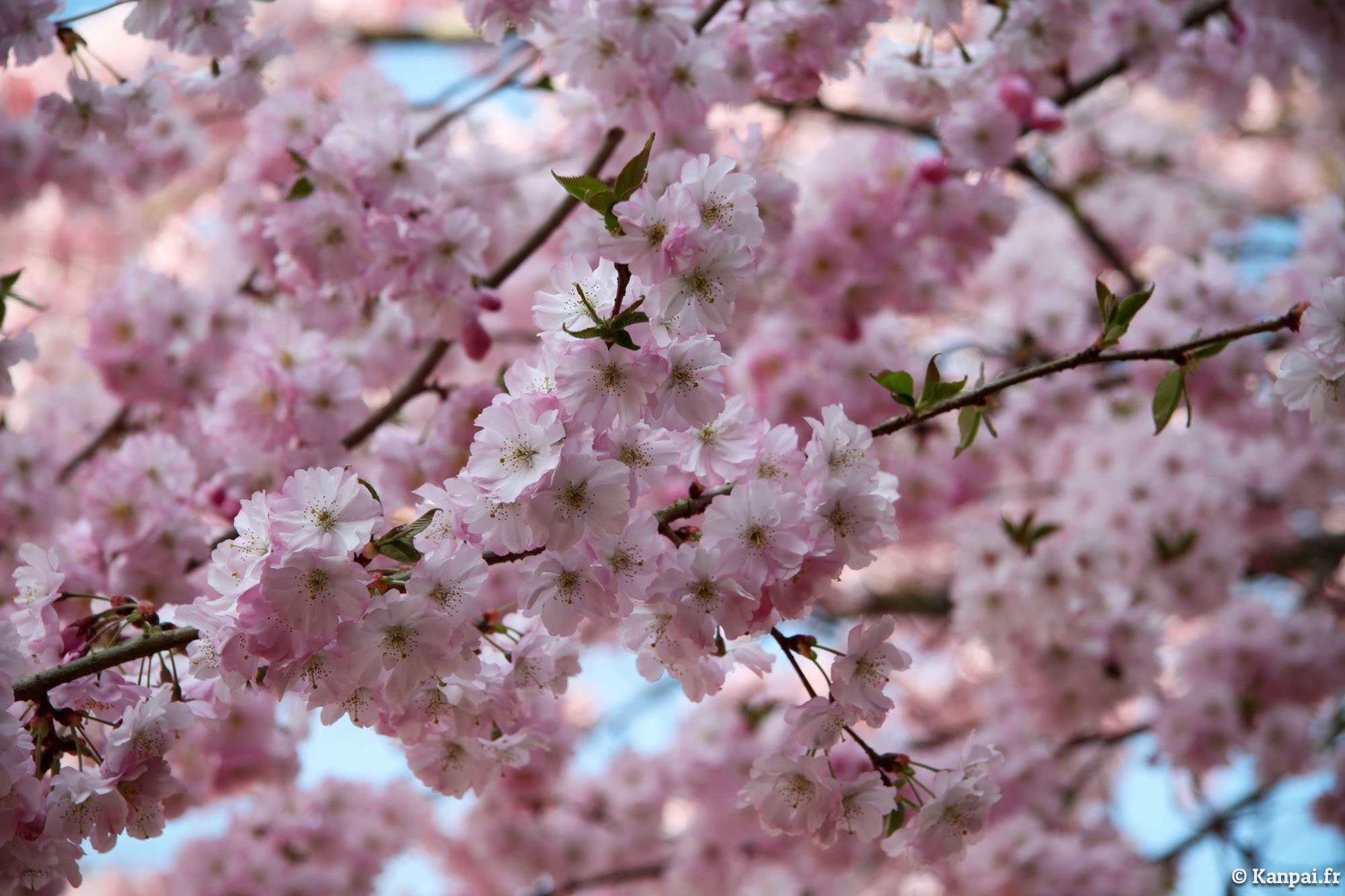 sakura les cerisiers en fleurs du japon. Black Bedroom Furniture Sets. Home Design Ideas