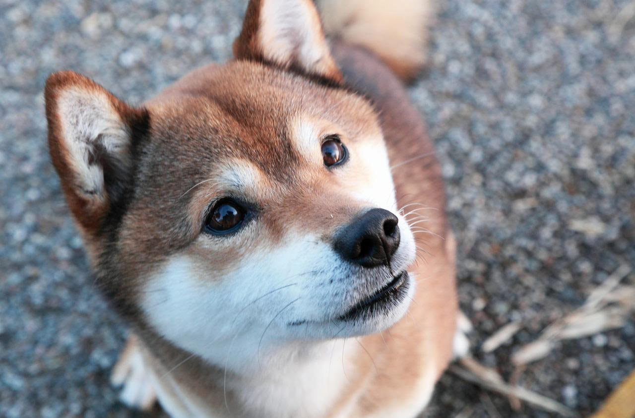 [Terminé] T'es trop choux [PV Casey] Shiba-inu